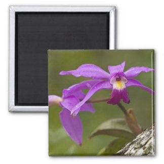Violet Cattleya Orchid Cattleya violacea) 2 Inch Square Magnet