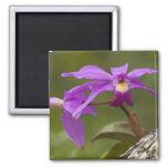 Violet Cattleya Orchid Cattleya violacea) Magnet