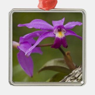 Violet Cattleya Orchid Cattleya violacea) Ornaments