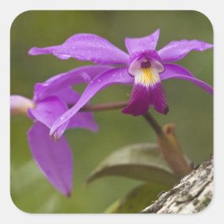 Violet Cattleya Orchid Cattleya violacea) Square Sticker