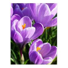 Violet Crocus Post Card