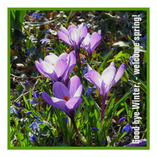 Violet crocuses 4.0.5.2T, spring greetings Poster