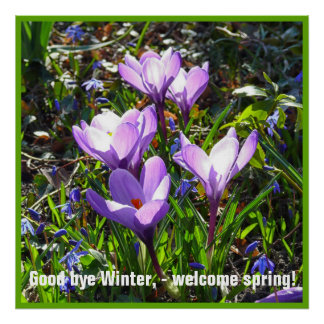 Violet crocuses 4.0.5.T, spring greetings Poster