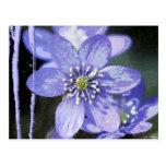 Violet Dreams Postcard