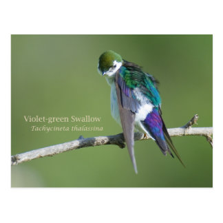 Violet-green Swallow Post Cards