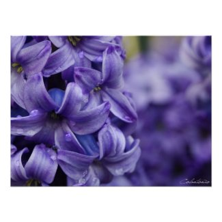 Violet Hyacinth print
