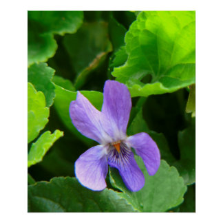 Violet in the garden flowering, Viola odorata, Poster