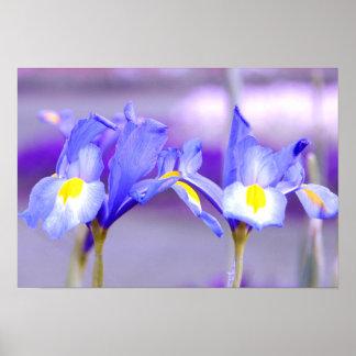 Violet Iris Flowers Poster