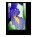 violet iris post card