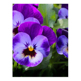 violet pansy postcard
