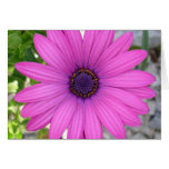 Violet Pink Osteospermum Flower Daisy Greeting Cards