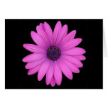 Violet Pink Osteospermum Flower Isolated on Black Greeting Card