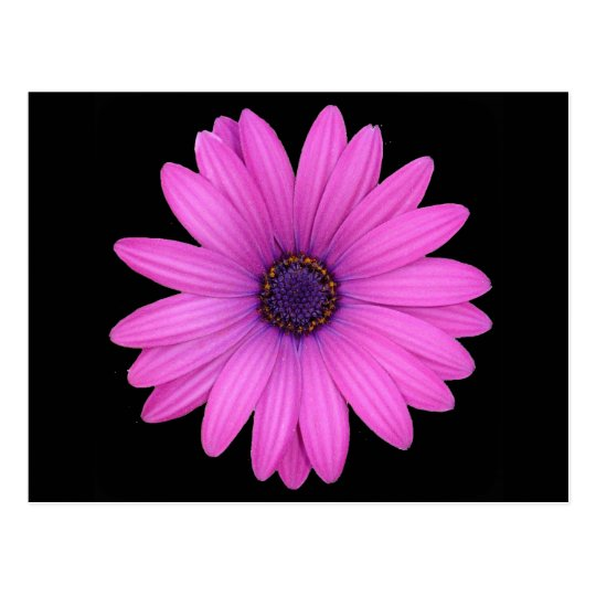 Violet Pink Osteospermum Flower Isolated on Black Postcard