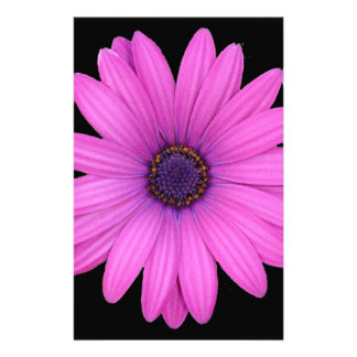 Violet Pink Osteospermum Flower Isolated on Black Stationery