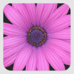 Violet Pink Osteospermum Flower Isolated on Black Stickers