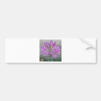 Violet Queen Cleome Bumper Sticker