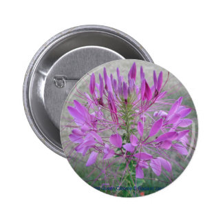 Violet Queen Cleome Buttons