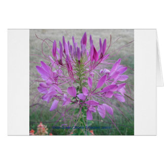 Violet Queen Cleome Card