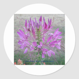 Violet Queen Cleome Classic Round Sticker