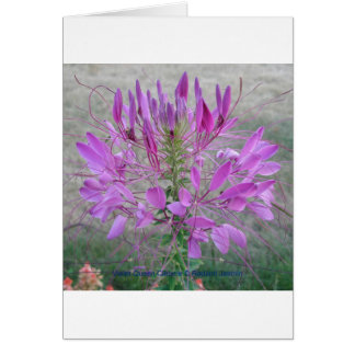 Violet Queen Cleome Greeting Card