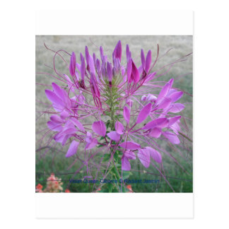 Violet Queen Cleome Postcard