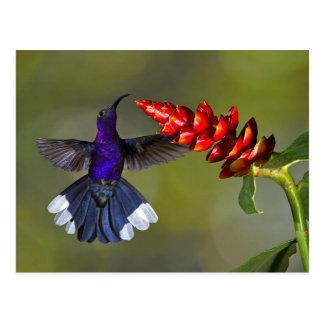 Violet Sabrewing Hummingbird Postcard