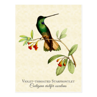 Violet Throated Hummingbird Art Postcard