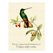 Violet Throated Hummingbird Vintage Art Postcard