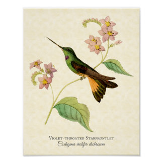 Violet-throated Starfrontlet Hummingbird Art Print