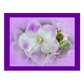 Violetas africanas de lujo púrpuras y blancas tarjetas postales