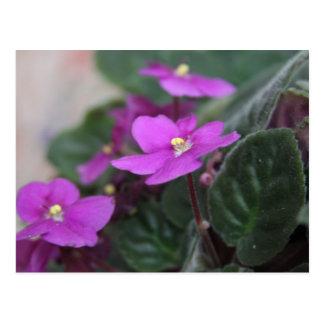 Violetas africanas postal