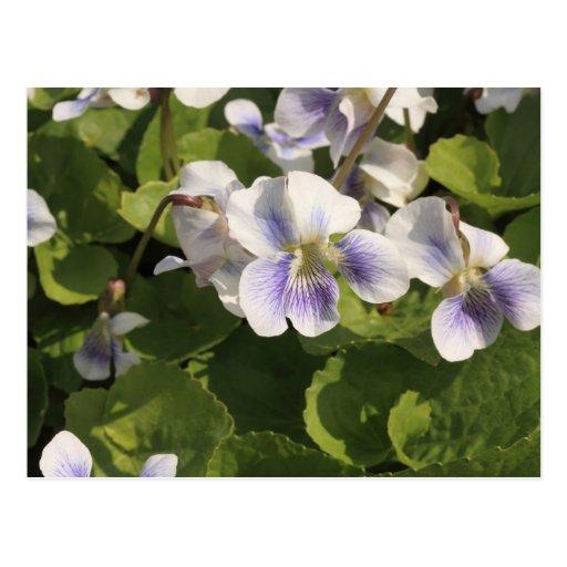 violetas azules tarjeta postal