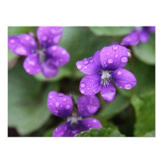 Violetas púrpuras mojadas fotografía