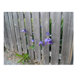 Violets through the Fence Postcard