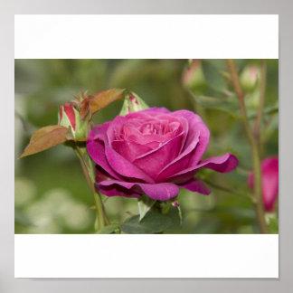 violette Rose Posterdruck