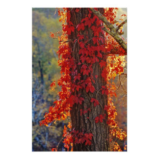 Virginia Creeper bright red in autumn at Photograph