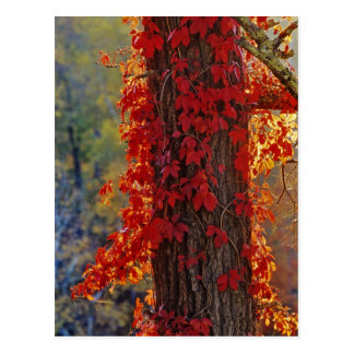 Virginia Creeper bright red in autumn at Postcard