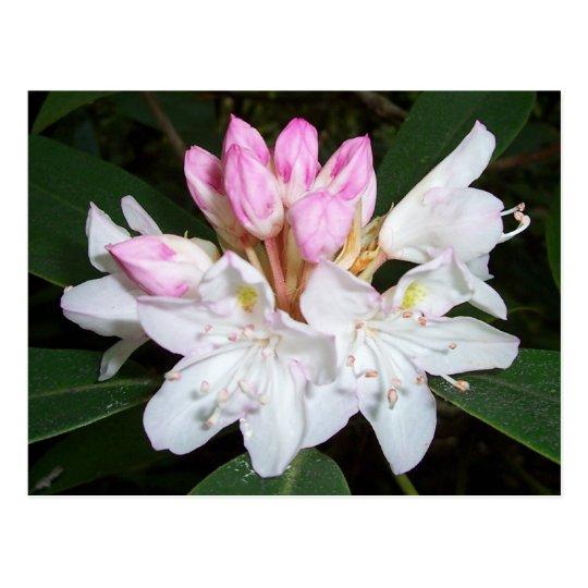 Virginia Rhododendron Postcard
