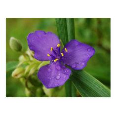 Virginia Spiderwort Flower postcard