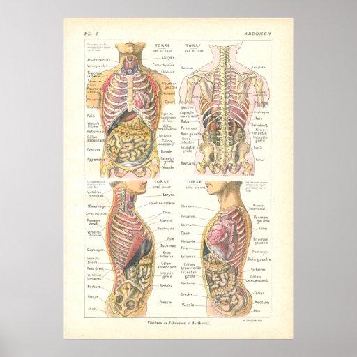 Viscera & Abdominal Anatomy Poster French