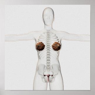 vista 3D del sistema reproductivo femenino Posters