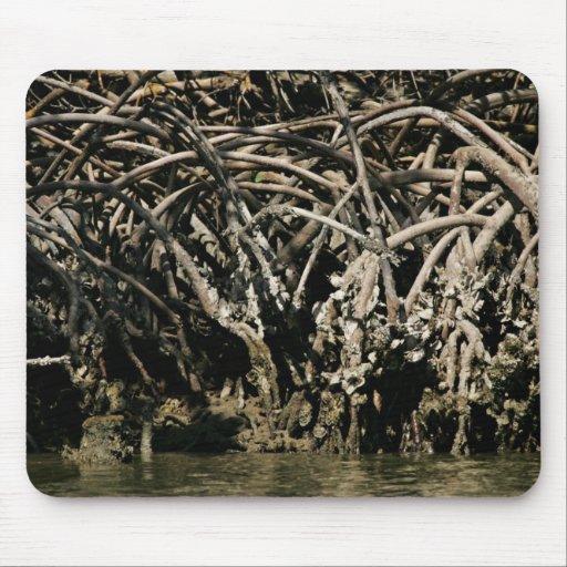 Vista cercana de las raíces rojas del mangle tapetes de raton