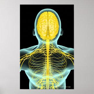 Vista de los nervios en el cuerpo superior desde a impresiones