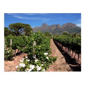 Vista de viñedos. Stellenbosch Tarjeta Postal