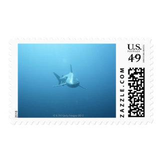 Vista delantera de un tiburón de tigre