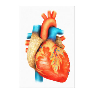 Vista delantera del corazón humano impresión en lienzo estirada