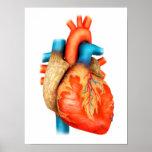 Vista delantera del corazón humano póster