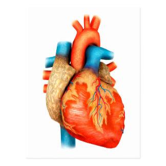 Vista delantera del corazón humano tarjetas postales