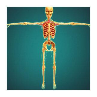 Vista delantera del esqueleto humano con nervioso lienzo envuelto para galerias