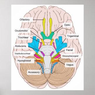 Vista inferior de nervios craneales en el cerebro póster